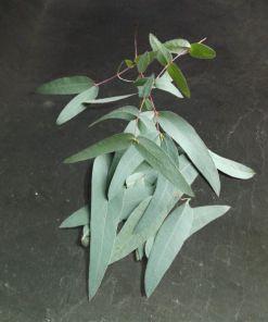 Foto von Eukalyptusblättern